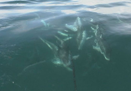 dolphins near hydrophone